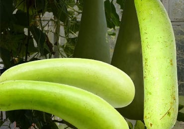 Superb Health Benefits of Bottle Gourd