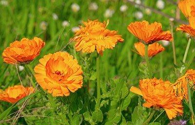Marigold Calendula Flowers