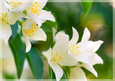 Uses of Jasmine for Health and Beauty!