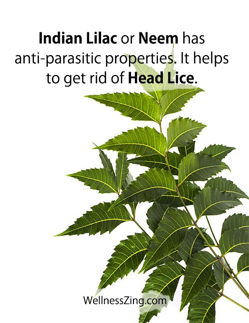 Neem Leaves Has Anti Parasitic Properties to Get Rid of Lice
