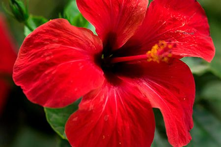 Hibiscus For Naturally Healthy Hair