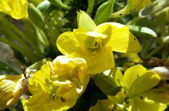 Evening Primrose Oil Benefits for Health