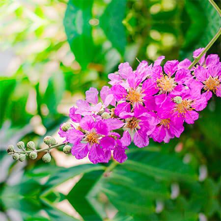 Benefits of Queens Flower